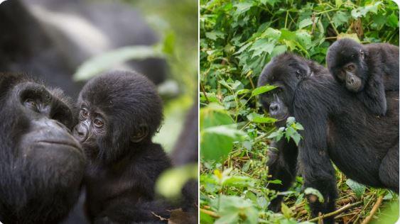 Fifth Gorilla Birth in Bwindi/Uganda in just 6 weeks
