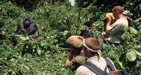 Uganda is now Reopen for  Tourists, to Stay 33ff Away from Gorillas.