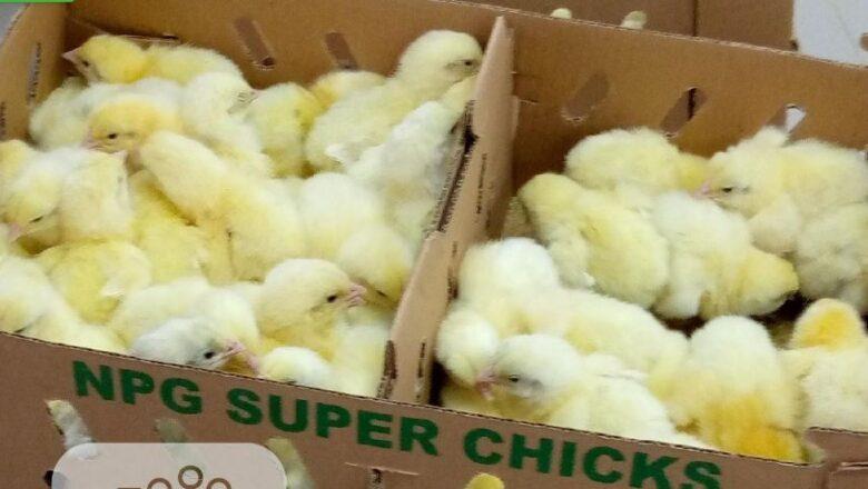 Gov't Bans Importation Of Chicks Over Deadly Influenza Outbreak