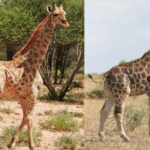 Dwarf Giraffes Found In Murchison Falls For The First Time