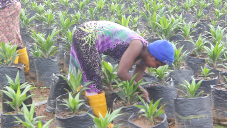 Oil Palm Planting Starts in Buvuma